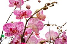 Free Moth Orchid Stock Photo - 8438410