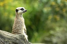 Free Meerkat Lookout Royalty Free Stock Image - 8438446