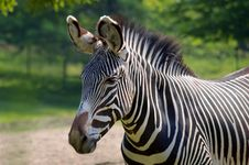 Free Common Zebra Stock Photography - 8438522