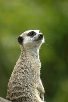 Free Meerkat Lookout Stock Images - 8438534