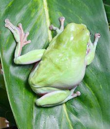 Free Frog Royalty Free Stock Image - 8438626
