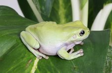 Free Green Tree Frog Stock Images - 8438654