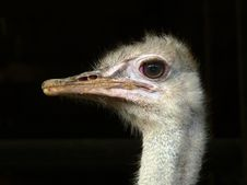 Free Head Of An Ostrich Stock Images - 8438724