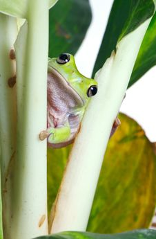 Free Frog Stock Photography - 8438942