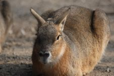 Patagonian Cavy Royalty Free Stock Photo