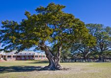 Free Old Oak Tree At Park Royalty Free Stock Image - 8439586