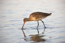Free Marbled Godwit Feeding In Water Royalty Free Stock Images - 8439719