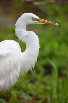Free Great Egret, Eastern Subspecies Royalty Free Stock Photo - 8439795