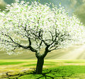 Free Blossoming Tree Royalty Free Stock Images - 8441659