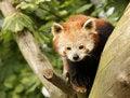 Free Red Panda Stock Images - 8441764