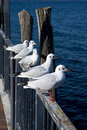 Free Resting Seagulls Stock Photos - 8443913
