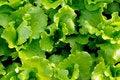 Free Italian Lettuce Leaves Royalty Free Stock Photography - 8445707