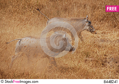 Two Warthogs Stock Photo