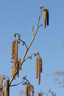 Free Alder Tree Catkins Royalty Free Stock Photos - 8440008