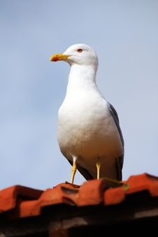 Free Yellow-legged Seagull Stock Photography - 8440152