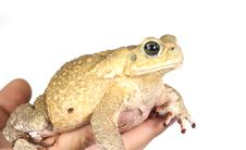 Free Toad Royalty Free Stock Photo - 8440155