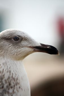 Free Head Closeup Of A Gull Royalty Free Stock Images - 8440269