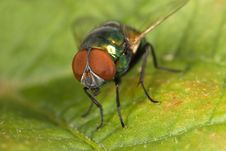 Green Bottle Fly Royalty Free Stock Photos
