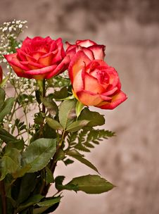 Free Roses Royalty Free Stock Image - 8440606