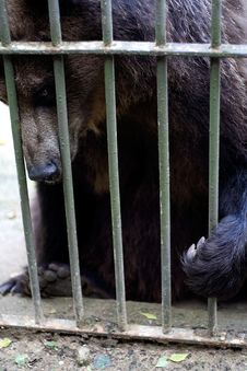 Brown Bear Behind Bars