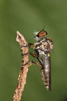Free Robberfly Side View Stock Photography - 8440752