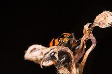 Free Ladybug On Dry Stick Royalty Free Stock Photo - 8440785