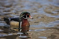 Free Wood Duck (Aix Sponsa) Male Stock Photography - 8440822