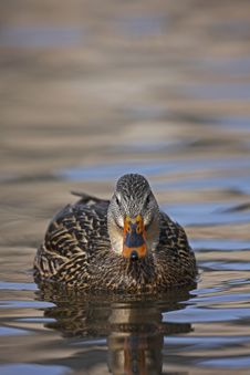 Free Mallard Female Swimming Royalty Free Stock Photography - 8440887