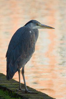 Free Fishing Heron Stock Photos - 8441003