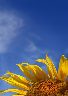 Free Sunflower On Sky Background With Copyspace Stock Photography - 8441622