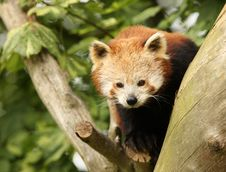 Free Red Panda Stock Images - 8441764