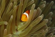 Free False Clown Anemonefish (Amphiprion Ocellaris) Royalty Free Stock Photos - 8442308