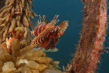Shortfin Lionfish (Dendrochirus Brachypterus) Royalty Free Stock Photography