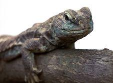 Free Lizard Royalty Free Stock Photo - 8443125