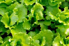 Free Italian Lettuce Leaves Royalty Free Stock Photography - 8445707