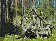 Free Pine Stump In The Karelian Forest Royalty Free Stock Photography - 8447507