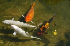 Koi Fish In Pond Royalty Free Stock Image