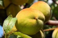 Free Peach Tree Royalty Free Stock Photos - 8448118