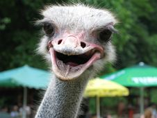 Free Ostrich Head Stock Image - 8448181