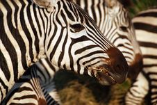 Zebra Closeup Royalty Free Stock Photography