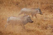 Two Warthogs Stock Image