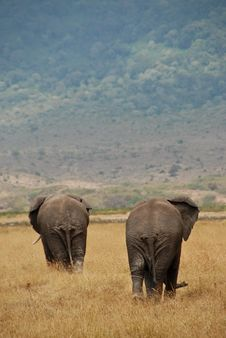 Free Two African Elephants Stock Photo - 8448250