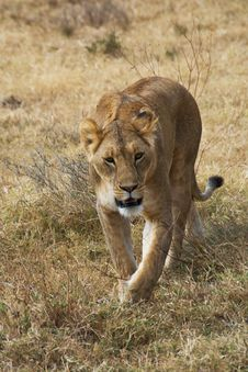 Free Serengeti Lioness Stock Image - 8448251