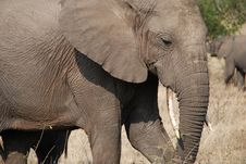 Free African Elephant Royalty Free Stock Image - 8448296