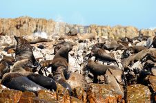 Seals On Dyer Island,South Africa Royalty Free Stock Images