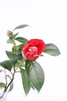 Free Red Camellia Stock Photo - 8448360