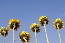 Free Sunflower Stock Photos - 8448673