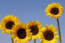 Free Sunflower Royalty Free Stock Photography - 8448797