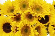 Free Sunflower Royalty Free Stock Photography - 8448987