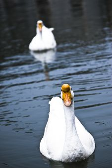 Free Swans Royalty Free Stock Photo - 8449355